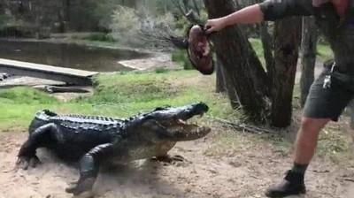 Enlace a El peligroso momento en el que le das de comer a un Alligator