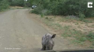 Enlace a Bebé rinoceronte retando a un coche antes de darse cuenta de que es demasiado grande
