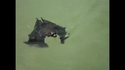 Enlace a La demostración de que los murciélagos pueden nadar