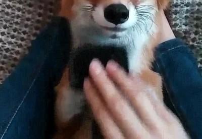 Enlace a El zorro lo más adorable que has visto nunca