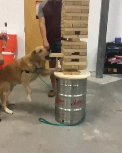 Enlace a Un perro jugando a Jenga con una precisión milimétrica