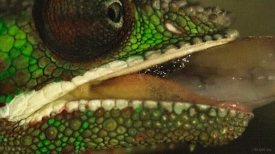 Enlace a Capturando el ataque de la lengua de un camaleón a cámara lenta
