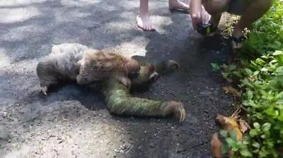 Enlace a Seguro que nunca habías visto a un perezoso cruzando la carretera con su hijo a espaldas