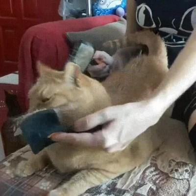 Enlace a Este gato sabe que se disfruta más con dos peines que con uno