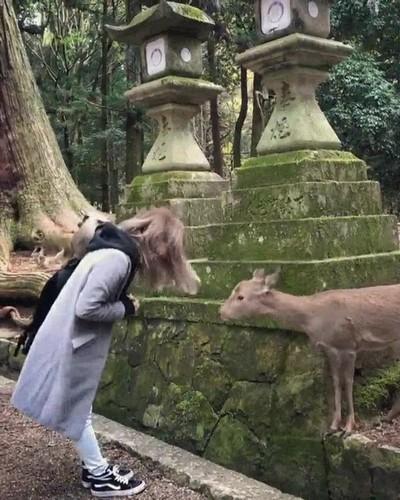 Enlace a Los ciervos de Nara cada vez son más educados