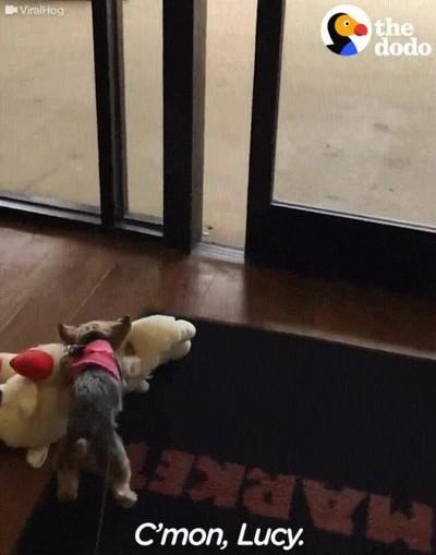 Enlace a Perros que insisten en llevarse su juguete a todas partes