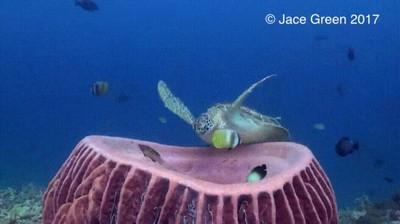 Enlace a Tortuga marina acomodándose para una siesta