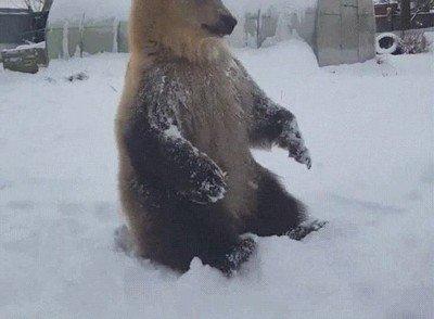 Enlace a Los osos también se lo pasan bien jugando con bolas de nieve