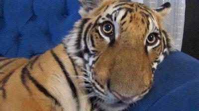 Enlace a Seguro que nunca habías visto la cara de un tigre despertándose de la siesta