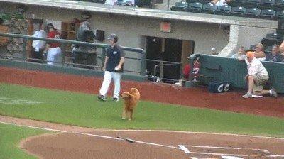 Enlace a Perros que te echan una mano en un partido de béisbol