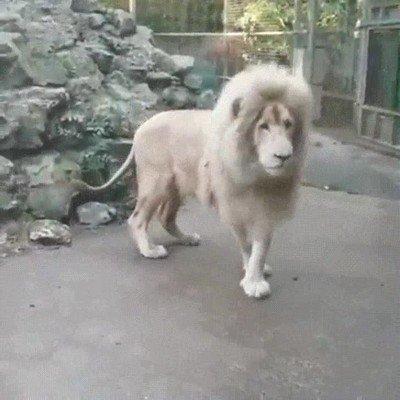 Enlace a Todo el orgullo de un león tirado por la borda por culpa de una burbuja