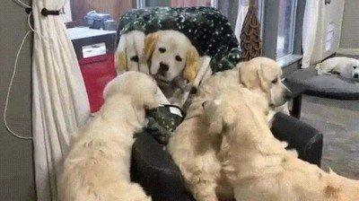 Enlace a Perros que confunden a una manta con uno más de la familia