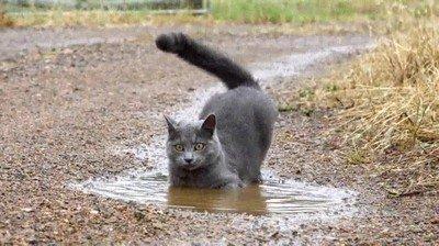 Enlace a La demostración de que no todos los gatos odian mojarse