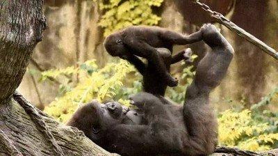 Enlace a Mamá gorila jugando al avión con su pequeño