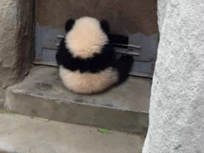 Enlace a Algunos osos panda son unos maestros del camuflaje