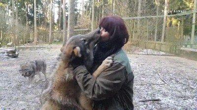 Enlace a Un lobo mostrando su afecto a su cuidadora