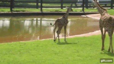 Enlace a Una joven jirafa se asusta de su propio reflejo