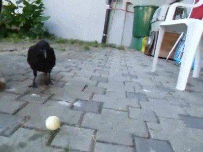 Enlace a ¿Creías que no se puede jugar a fútbol con un cuervo y un perro?