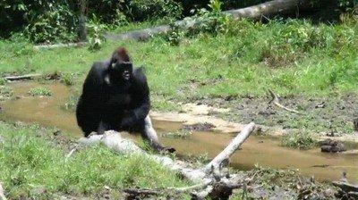 Enlace a Gorilas que andan como humanos para no mojarse las manos