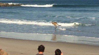 Enlace a Canguros que han salido a entrenar dando un paseo por la playa