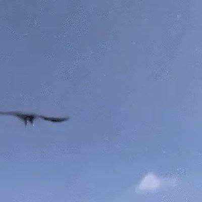 Enlace a Águilas que deciden acabar con la vida de un dron