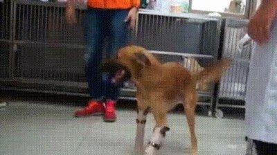 Enlace a La felicidad de este perro con sus nuevas patas es algo que no tiene precio