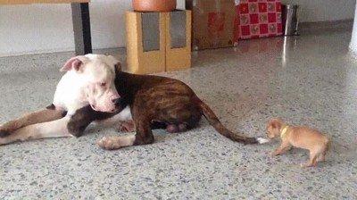 Enlace a Perros que no tienen miedo de trollear a alguien mucho más grande