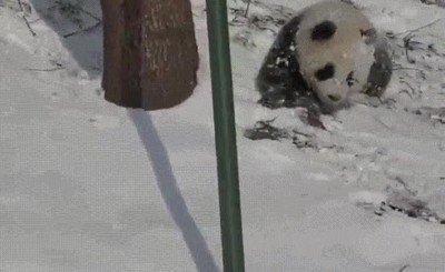 Enlace a Mamá panda enseñando cómo hacer la croqueta a sus dos pequeños