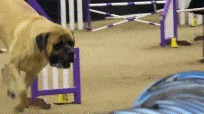 Enlace a Un Mastín participando en un campeonato de agilidad canina