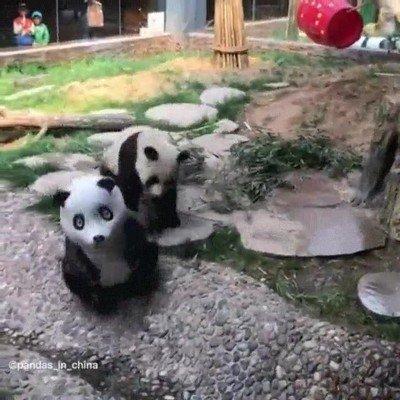 Enlace a Tu NO eres un panda real. Nuestra especia no se merece este trato