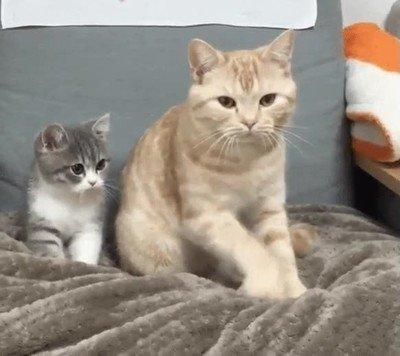 Enlace a Gatos que imitan todos los movimientos que ven