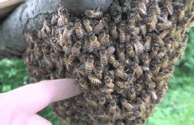 Enlace a No lo veas si tienes miedo a las abejas