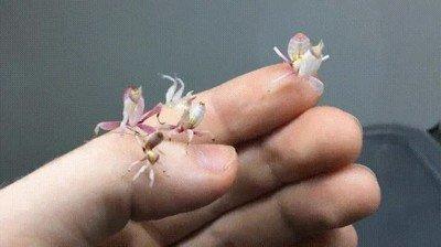 Enlace a Así son las mantis orquídea recién nacidas