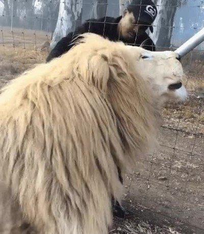 Enlace a A este león gigante le encantan los mimos. Es imposible no amarlo