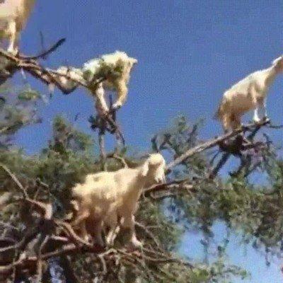 Enlace a Han encontrado un árbol que en lugar de fruta da cabras