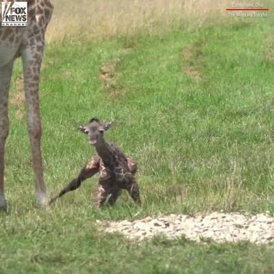 Enlace a Es adorable ver a una jirafa recién nacida dar sus primeros pasos