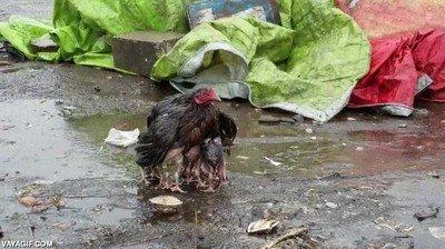 Enlace a Mamá gallina protege a sus crías de la lluvia