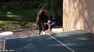 Enlace a Perros y gatos se enfrentan en un apasionante partido de ping pong