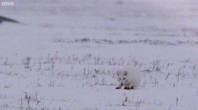 Enlace a Un joven zorro cazando en el Ártico