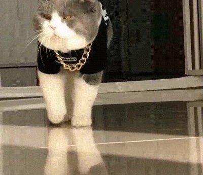 Enlace a Reconócelo: este gato tiene más swag del que tendrás nunca
