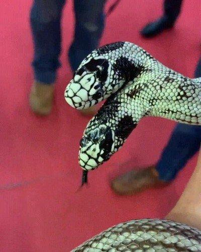 Enlace a Me sigo sorprendiendo cuando veo una serpiente de dos cabezas
