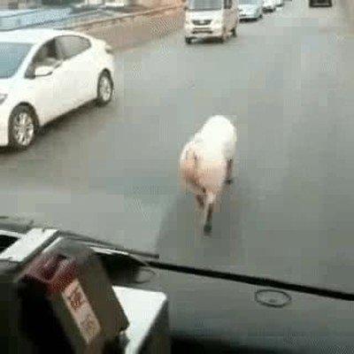 Enlace a Este cerdo camina de forma más sexy que tú