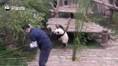 Enlace a Osos panda que parecen fabricados de velcro