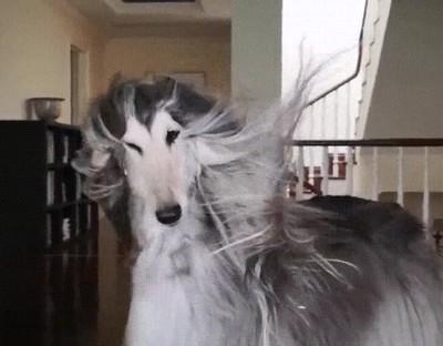 Enlace a Nunca tendrás un pelo tan fabuloso como el de este perro