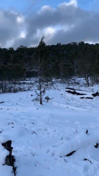 Enlace a Me explota la cabeza cada vez que veo un canguro en la nieve