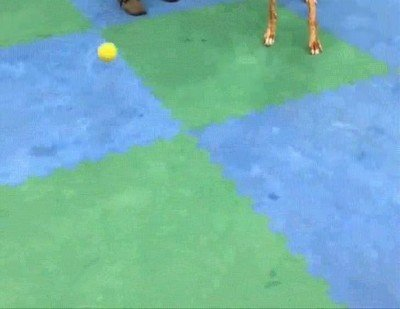 Enlace a Esta perrita está ciega pero todavía le encanta jugar a la pelota
