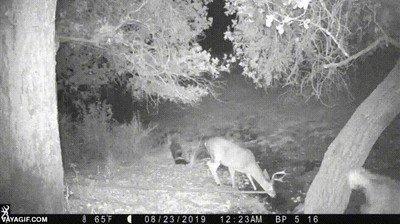 Enlace a Lo que pasa cuando un ciervo se topa con una mofeta en el bosque