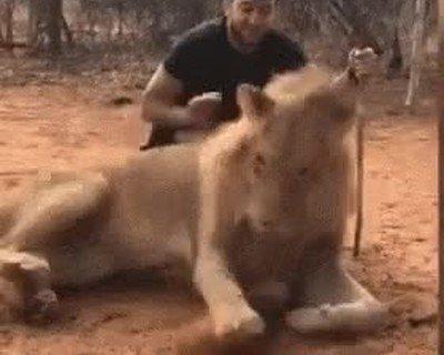 Enlace a El león más troll que he visto nunca