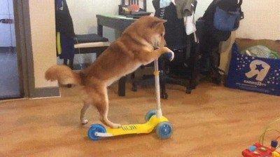 Enlace a Tan solo un perro aprendiendo a ir en patinete