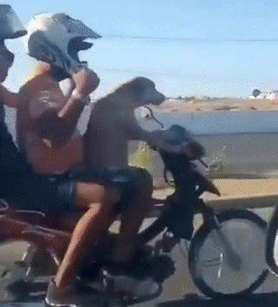 Enlace a Perros que han nacido para ser motoristas, Solo le falta el casco